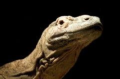 Komodo Dragon. A isolated shot of the Komodo Dragon Royalty Free Stock Photo