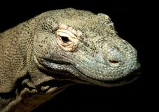 Komodo Dragon. Close-up look at a Komodo Dragon isolated on a black background Royalty Free Stock Photos