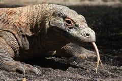 Komodo Dragon. Close-up look at a Komodo Dragon and its tongue stock photography