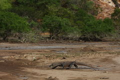Komodo dragon. On the hunt Royalty Free Stock Image