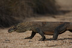 Komodo dragon. On the hunt Royalty Free Stock Photography