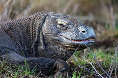 Komodo dragon. Opens half its mouth Royalty Free Stock Photo