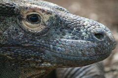 Komodo dragon. The face of a komodo dragon Stock Photos