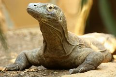 Komodo Dragon. Close up of a male Komodo Dragon Royalty Free Stock Photos