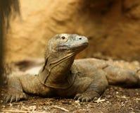 Komodo Dragon. Close up of a hungry male Komodo Dragon Royalty Free Stock Photo