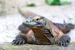 Komodo Dragon. Lazing in the sun royalty free stock image