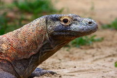 Komodo dragon. The Komodo dragon (Varanus komodoensis) is a species of lizard that inhabits the islands of Komodo, Rinca, Flores, and Gili Motang in Indonesia Royalty Free Stock Photo