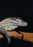 Komodo Dragon Royalty Free Stock Photo