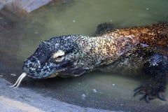 Komodo Dragon. A Komodo Dragon at the zoo looking right at you Stock Photography