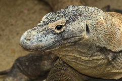 Komodo Dragon. Portrait of a Komodo Dragon, member of the lizard family. Species: Varanus komodoensis Royalty Free Stock Photos