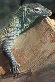 Komodo Dragon. Young Baby Komodo Dragon Resting On Log stock photo