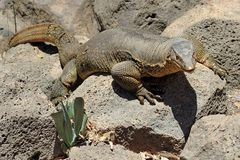 Komodo dragon. Komodo (Varanus komodoensis), is the largest living species of lizard, growing to an average length of 2-3 meters Stock Photos