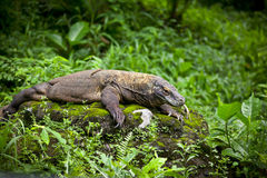 Komodo Dragon -2 Royalty Free Stock Image