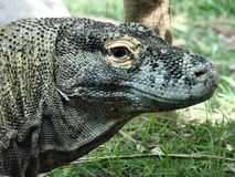 Komodo dragon. This is a komodo dragon, the largest land lizard, reaching up to 11ft n length stock image