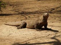 Komodo dragon. Watching and lying on ground on Rinca pulau stock photo