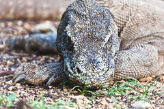 Komodo Dragon Royalty Free Stock Images