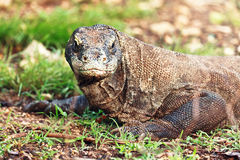 Komodo Dragon Stock Images