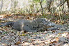 The Komodo dragon. The biggest living lizard in the world, Indonesia stock photos