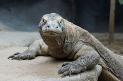 Komodo dragon Royalty Free Stock Image