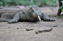 Komodo dragon. In the wild, an adult Komodo dragon usually weighs around 70 kilograms (150 lb), although captive specimens often weigh more. The largest verified Stock Photo