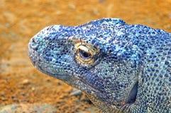 Komodo Dragon. A komodo dragon resting at a zoo in Tampa, Florida Stock Image
