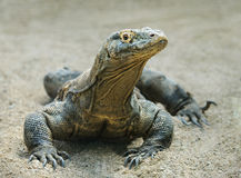 Komodo dragon. The largest lizard in the world Stock Photography