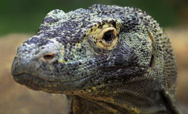 Komodo dragon Royalty Free Stock Photos