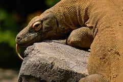 Komodo Dragon. Color photo of Komodo dragon lounging on rocks on sunny day stock photos