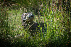 Komodo Dragon. The dangerous and deadly Komodo Dragon seen here in the wild on the Indonesian island of Rinca. This reptile is actually a giant monitor lizard Royalty Free Stock Photos