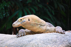 Komodo dragon. Lizard close-up in the wild Stock Photos