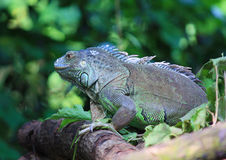 Komodo dragon. Lizard close-up in the tropical forest, asia Royalty Free Stock Images