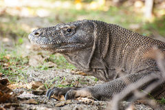 Komodo Dragon. The Komodo dragon is the largest living lizard. The largest verified specimen reached a length of 10.3 feet (3.13 m) and weighed 366 pounds (166 Stock Photo