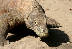 Komodo Dragon. Close up view Royalty Free Stock Images