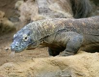 Komodo Dragon 6 Royalty Free Stock Image
