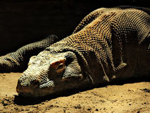 Komodo dragon. Bathing in the sunlight Royalty Free Stock Image