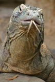 Komodo Dragon. Close up of a Komodo Dragon Royalty Free Stock Photography