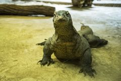 The Komodo dragon also known as the Komodo monitor. Is a species of lizard found in the Indonesian islands of Komodo, Rinca, Flores, Gili Motang, and Pada stock image