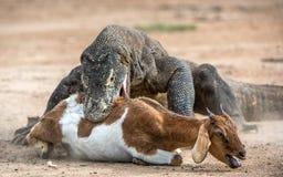 The Komodo dragon attacks the prey. The dragon attacks. The Komodo dragon attacks the prey. The Komodo dragon, Varanus komodoensis, is the biggest living lizard stock images
