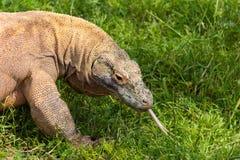 Komodo dragon in Attica zoo Royalty Free Stock Photo