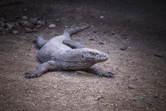 Komodo Dragon,B&W.Indonesia Stock Image