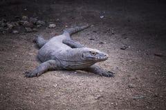 Komodo Dragon,B&W.Indonesia Stock Image