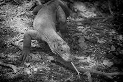 Komodo Dragon,B&W.Indonesia Royalty Free Stock Images