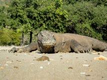 Komodo Dragon. On the beach of Komodo island, Indonesia stock image