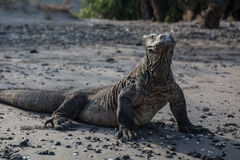 Komodo Dragon on Beach Stock Images