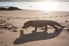 Komodo Dragon on Beach Royalty Free Stock Images