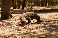 Komodo dragon biggest lizard at National Park. Indonesia. Komodo dragon is on the ground. Interesting perspective. The low point shooting. Indonesia. Komodo Royalty Free Stock Photos