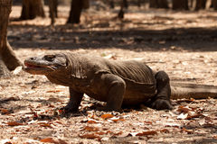 Komodo dragon biggest lizard at National Park. Indonesia. Komodo dragon is on the ground. Interesting perspective. The low point shooting. Indonesia. Komodo Stock Photos