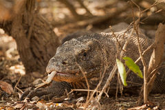 Komodo dragon biggest lizard at National Park. Indonesia. Komodo dragon is on the ground. Interesting perspective. The low point shooting. Indonesia. Komodo Stock Photo