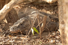 Komodo dragon biggest lizard at National Park. Indonesia. Komodo dragon is on the ground. Interesting perspective. The low point shooting. Indonesia. Komodo Royalty Free Stock Photo
