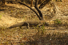 Komodo dragon biggest lizard at National Park. Indonesia. Komodo dragon is on the ground. Interesting perspective. The low point shooting. Indonesia. Komodo Stock Images